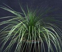 ザンソロエア「ラティフォリア」 X.latifolia