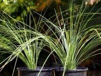ザンソロエア「グラウカ」Xanthorrhoea glauca hybrid(seedling)
