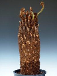 ディクソニア・アンタルクティカ (大)Dicksonia antarctica